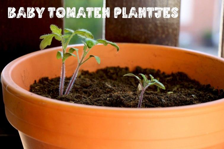 babytomatenplantjes